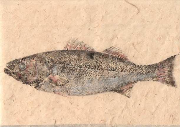 sea-bass-lokta-2